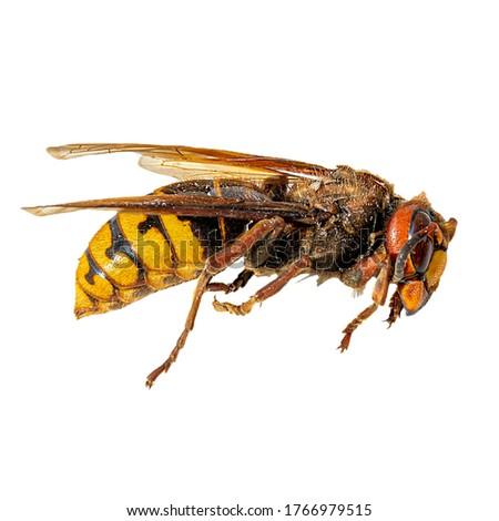 European hornet (Vespa crabro). Hornet isolated on white background. Dangerous insect.