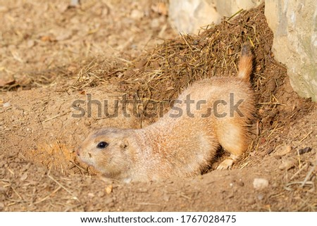 wild animal gopher on the sand during a summer day