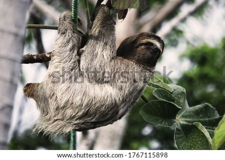Tarzan the sloth hanging in the trees in Costa Rica