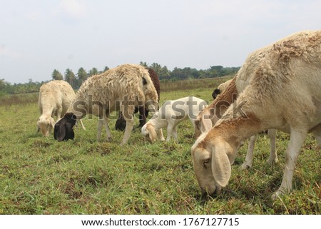 Sheep are quadrupedal, ruminant mammals typically kept as livestock. Like most ruminants, sheep are members of the order Artiodactyla, the even-toed ungulates #1767127715