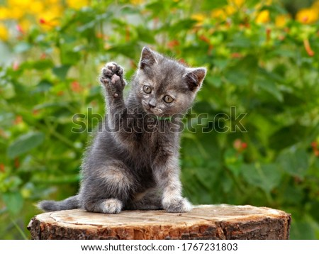 Gray cute kitten pointing up hand or paw. Funny pretty kitten sitting & voting hand in election by rising up paw. Animal vote - little kitten in summer nature play hand paw up. Lovely gray cat kitty #1767231803