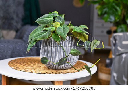 Tropical 'Philodendron Hederaceum Micans' houseplant with heart shaped leaves with velvet texture in gray flower pot on coffee table Royalty-Free Stock Photo #1767258785
