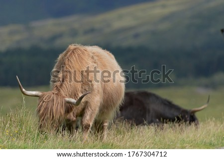 A tan highland bull grazes long natural meadow plants, with a second black bull in the background side on. Main bull points large horns at camera. #1767304712