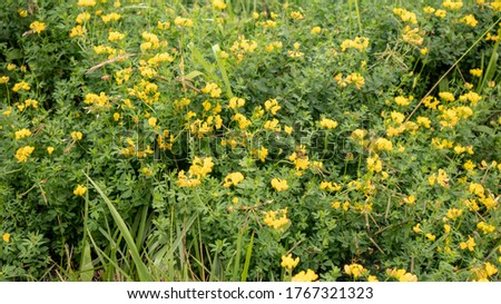 Beautiful yellow flowers are lotus japonicus in the mountains