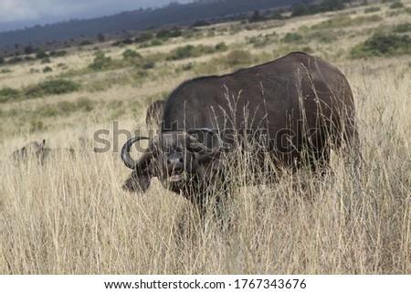 African safari in Kenya wildlife Royalty-Free Stock Photo #1767343676