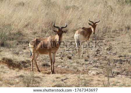 African safari in Kenya wildlife Royalty-Free Stock Photo #1767343697