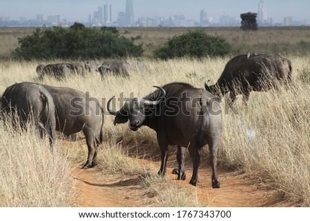 African safari in Kenya wildlife Royalty-Free Stock Photo #1767343700
