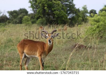 African safari in Kenya wildlife Royalty-Free Stock Photo #1767343715