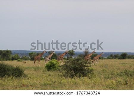 African safari in Kenya wildlife Royalty-Free Stock Photo #1767343724