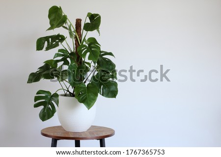 Green monstera. Swiss cheese plant potted in white pot isolated on a wooden table in the room  with white wall, copy space. Day light. Royalty-Free Stock Photo #1767365753