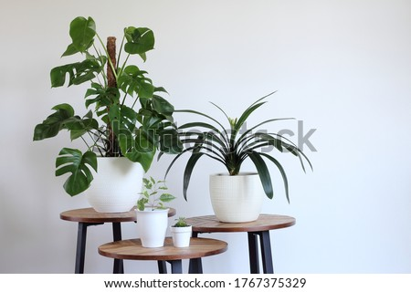 Set of easy care indoor tropical plants. Monstera or Swiss cheese plant, clivia, ficus  potted in white pots on a wooden tables with white wall background copy space. Day light. Royalty-Free Stock Photo #1767375329