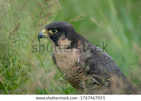 Portrait of a beautiful Peregrine Falcon (Falco peregrinus) on the ground. Falco peregrinus in the nature habitat.