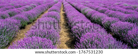 a culture of flowering lavender Royalty-Free Stock Photo #1767531230