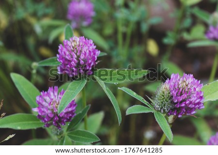 Clover or trefoil are common names for plants of the genus Trifolium  #1767641285