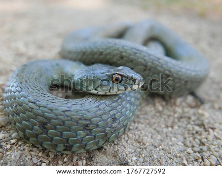 closeup photography of  a snake Natrix astreptophora, barred grass snake, picture taken in Garraf near Barcelona Spain.