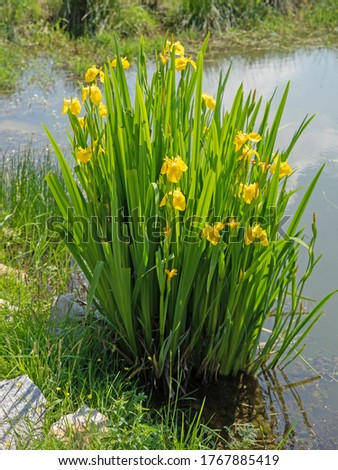 Flowering Swamp Sword Lily, Iris pseudacorus, at the edge of the pond