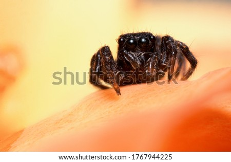 Big black spider is on the petal of flower. Halloween picture. To be afraid of spiders. Portrait of arachnid.