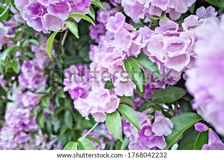 Abstract blooming flower of garlic vine ,false garlic plant (Mansoa alliacea ,Mansoa hymenaea) known as ajo sacha in Spanish-Quechua name which is woody climbing vine with bell-shaped lavender blossom #1768042232