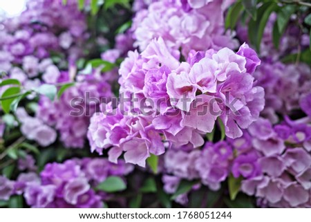 Abstract blooming flower of garlic vine ,false garlic plant (Mansoa alliacea ,Mansoa hymenaea) known as ajo sacha in Spanish-Quechua name which is woody climbing vine with bell-shaped lavender blossom #1768051244