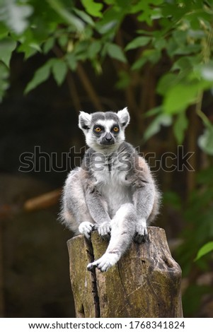Lemur sitting on a log as a lookout Posing for a picture
