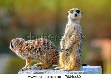 Curious meerkat looks into the distance . Two cute suricata