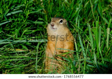Gopher eats in nature .
