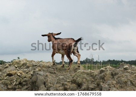 Picture of a beautiful goat.