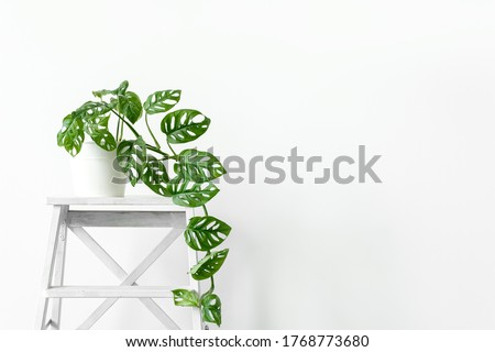 Beautiful monstera flower in a white pot stands on white wooden stand on a white background. The concept of minimalism. Monstera Monkey Mask or Monstera obliqua in pot. Royalty-Free Stock Photo #1768773680