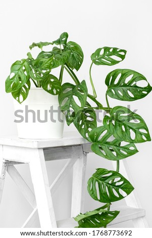 Beautiful monstera flower in a white pot stands on white wooden stand on a white background. The concept of minimalism. Monstera Monkey Mask or Monstera obliqua in pot. Royalty-Free Stock Photo #1768773692