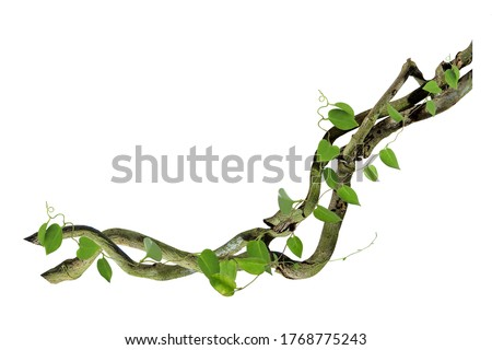 circular vine at the roots. Bush grape or three-leaved wild vine cayratia (Cayratia trifolia) liana ivy plant bush, nature frame jungle border, isolated on white background with clipping path included #1768775243