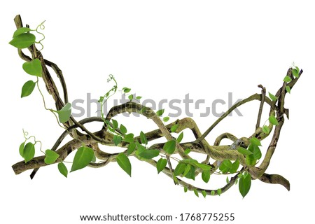 circular vine at the roots. Bush grape or three-leaved wild vine cayratia (Cayratia trifolia) liana ivy plant bush, nature frame jungle border, isolated on white background with clipping path included #1768775255