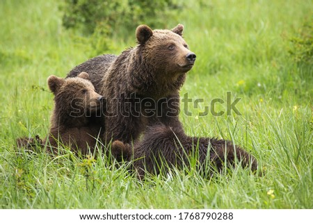Brown bear,ursus arctos, family resting on meadow during the summer. Mammal mother with cubs sitting in grass with blurred background. Wild animals lying on field. Royalty-Free Stock Photo #1768790288