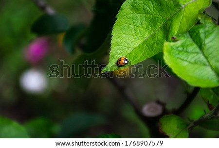 Lady bug on green leaf. Picture with copy space.