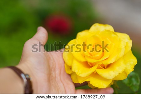 Close-up view of a yellow blooming rose on a green background. Summer, floristics, growing, gift concepts. Man holding a flower in his hand