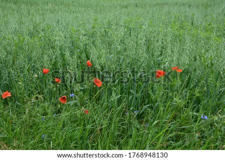 Oat, oats field, field with growing oats, green oats, oats cultivation.Unripe Oat harvest, green field #1768948130