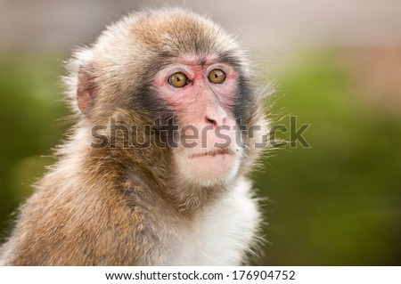 portrait of a macaque monkey #176904752