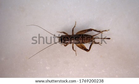 Cricket insect close up of Cricket on white background. closeup Cricket isolated. Field Cricket insects, insect, bugs, bug, animals, animal.