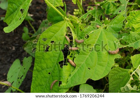 Many snails destroy the leaves of kidney beans in summer garden as pest illustration. A lot of brown slugs or deroceras eat vegetable plants Royalty-Free Stock Photo #1769206244
