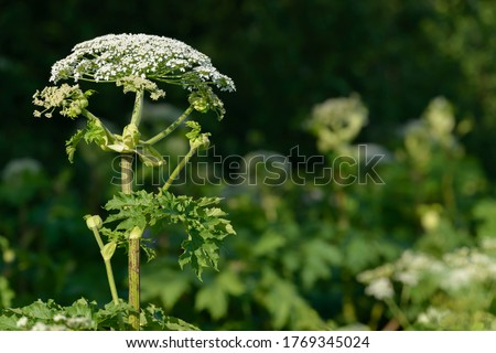 Giant dangerous allergic hogweed plant growing in the field. Poisonous Heracleum grass inflorescence. Leaves and flowers of blooming wild hogweed. Toxic perennial herb in the meadow. Royalty-Free Stock Photo #1769345024