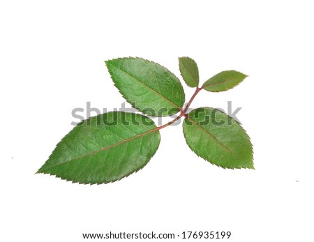 rose leaves isolated on white background