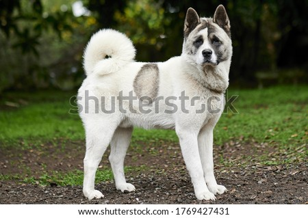 A picture of a white Norwegian buhund in the park