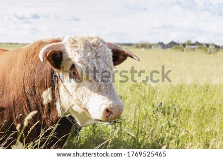 Year of the bull 2021. Bull zodiac symbol of the year 2021.The concept of livestock and organic food. Year of the bull 2021 eastern horoscope. Bull in the meadow close up. copy space. space for text #1769525465