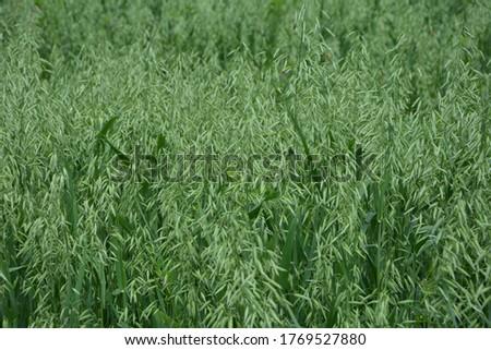 Oat, oats field, field with growing oats, green oats, oats cultivation.Unripe Oat harvest, green field #1769527880