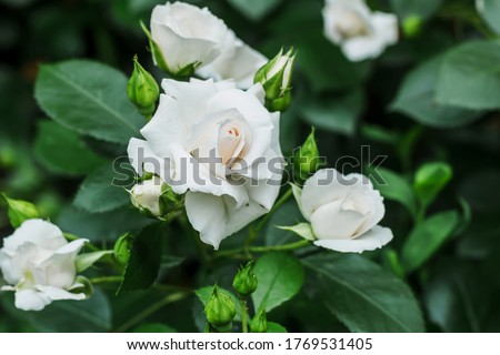 Bush white blooming rose. Growing roses. A lot of beautiful blooming roses. Buds of a white rose. Blooming rose bush. Blooms a lot of flowers. #1769531405