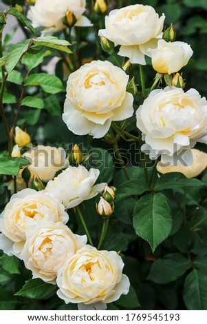 Bush yellow blooming rose. Growing roses. A lot of beautiful blooming roses. Buds of a yellow rose. Blooming rose bush. Blooms a lot of flowers. #1769545193