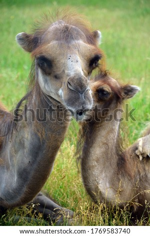 Camel  is an ungulate within the genus Camelus, bearing distinctive fatty deposits known as humps on its back. There are 2 species of camels: the dromedary l has a 1 hump, and the bactrian has 2 humps #1769583740