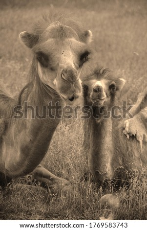 Camel  is an ungulate within the genus Camelus, bearing distinctive fatty deposits known as humps on its back. There are 2 species of camels: the dromedary l has a 1 hump, and the bactrian has 2 humps #1769583743