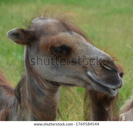 Camel  is an ungulate within the genus Camelus, bearing distinctive fatty deposits known as humps on its back. There are 2 species of camels: the dromedary l has a 1 hump, and the bactrian has 2 humps #1769584544