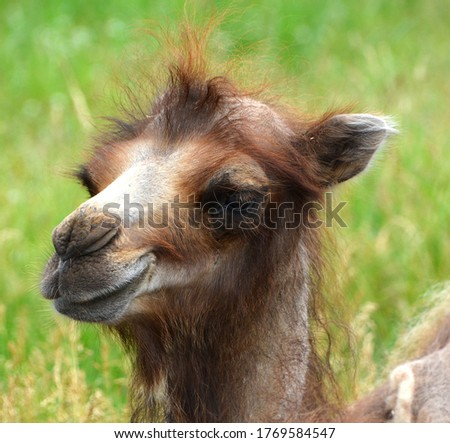 Camel  is an ungulate within the genus Camelus, bearing distinctive fatty deposits known as humps on its back. There are 2 species of camels: the dromedary l has a 1 hump, and the bactrian has 2 humps #1769584547