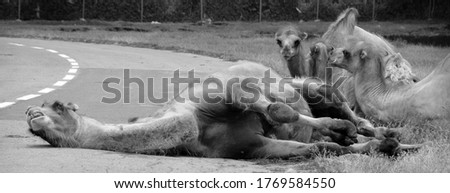 Camel  is an ungulate within the genus Camelus, bearing distinctive fatty deposits known as humps on its back. There are 2 species of camels: the dromedary l has a 1 hump, and the bactrian has 2 humps #1769584550